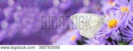 Pieris Brassicae, The Large White, Also Called Cabbage Butterfly, Cabbage White Is A Butterfly In Th