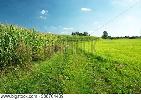 Grassy Road Next To A Cornfield And Green Meadow