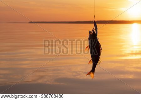 Bass Caught On Fishing Tackle. Angler Releasing River Perch At The Gold Sunset. Perch Caught On The