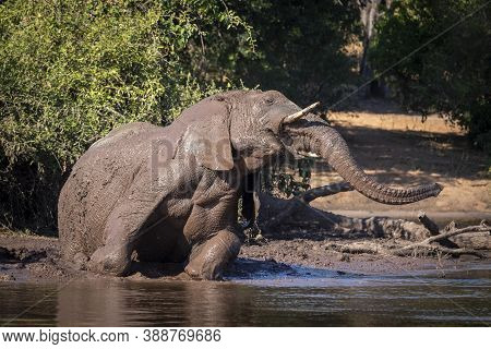 Large Elephant Covered In Mud Lying At The Edge Of Water In Chobe River In Botswana