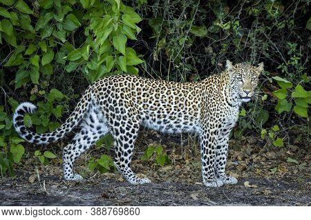 Horizontal Portrait Of An Adult Leopard Standing By Green Bush In Chobe River In Botswana
