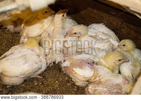 Broiler Chicks On An Eco Farm In The Countryside.