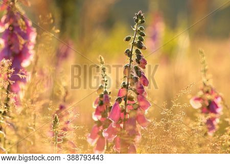 Purple foxglove sunset sunrise Nature background Nature background garden Nature background flowers meadow Nature background Nature background sun Nature background morning Nature background flower bloom Nature background wildflowers Nature background.