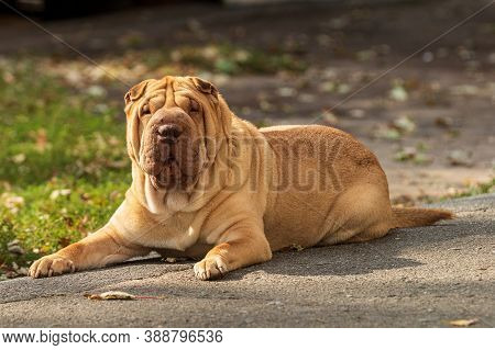 A Beige Shar Pei Dog Is Resting In A Park Area. Sunny Day. A Large Cute Pet. Blurred Background. Clo