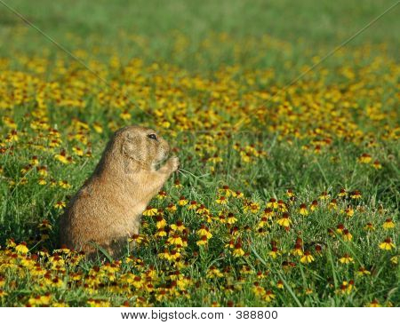 Prairie Dog In Flowers