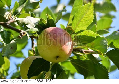 One Almost Matured Redish Apple Growing In A Tree