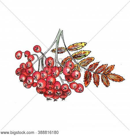 Watercolor Hand Drawn Illustration Rowanberry Branch. Isolate Clip-art