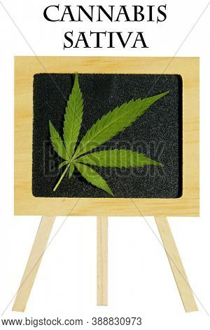 Cannabis Sativa Chalk Board. Wooden Chalk Board with a Marijuana Leaf. Isolated on white. Removable text reads Cannabis Sativa.