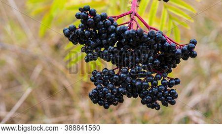 Ripe Elderberry Bush In Green Foliage.ripe Elderberry Bush,elderberry Picking Season,black Berry Pla