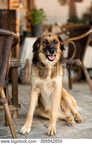 The Dog Is Sitting And Looking At The Camera. A Large Shaggy Dog, Brown. An Intelligent Dog With A K