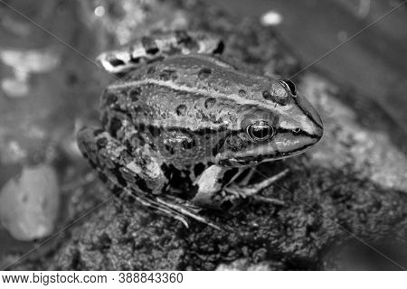 A Common Water Frog, Pelophylax Esculentus, On A Rock In The Water In Black And White.