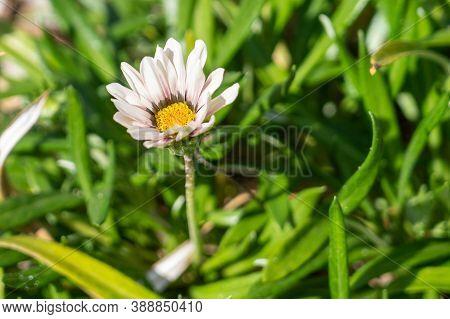 Fully Opened Gazania Flower Taking In The Sun