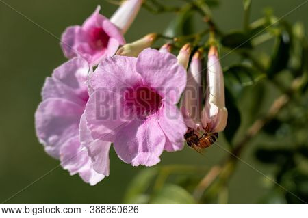 Bower Plant Flower With A Bee Green Background