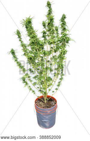 Cannabis Sativa. Flowering Female Marijuana Plant. Cannabis Sativa Flower. Mature Pot Plant in a 5 gallon flower pot. Isolated on white.