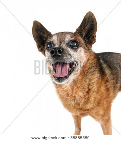 a cute chihuahua panting with his tongue out