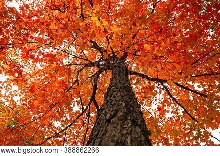 Bright red Maple tree in autumn time, view from bottom of tree.