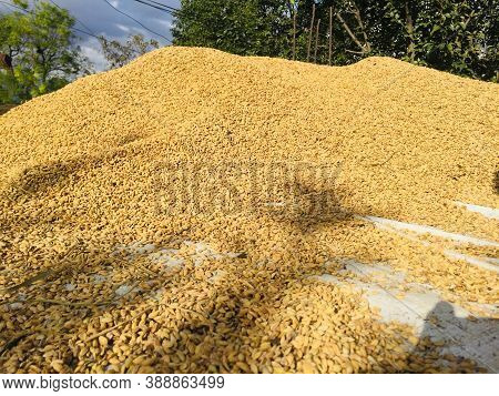 Drying Of The Rice Grain In The Sunlight After Harvest.traditional Process Of Drying Rice Grain In T