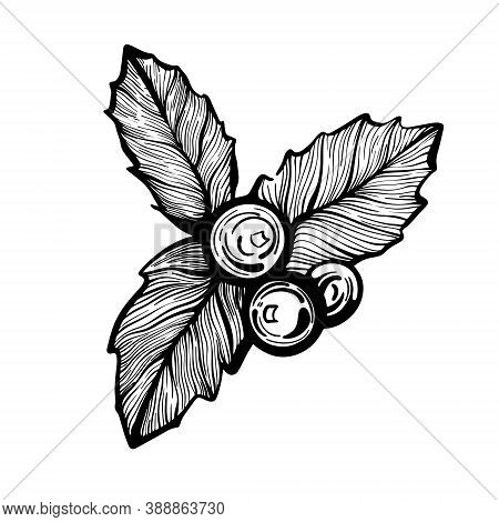 Holly Twig Hand-drawn Linear Vector Illustration. Christmas Holly Berries