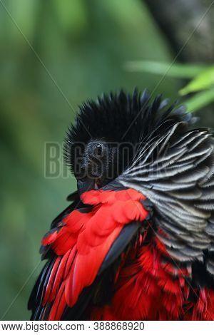 The Pesquet's Parrot (psittrichas Fulgidus) Also Known As The Vulturine Parrot, Portrait Of A New Gu