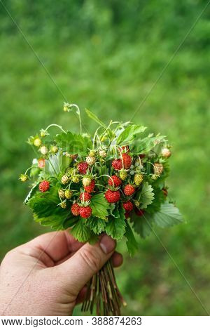 Fresh Berries Of Wild Strawberry In A Female Hand.female Hands Holding A Bunch Of Ripe Berries Of Wi
