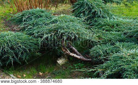 Cossack Juniper ( Lat. Juniperus Sabina). Shearing Of The Juniper With Gardening Scissors, Soft Focu