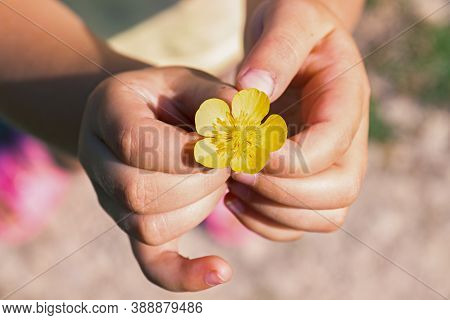Meadow Buttercup Or Tall Buttercup Or Common Buttercup Or Giant Buttercup-ranunculus Acris-yellow Fl
