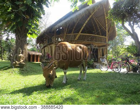 Denpasar, Indonesia - September 29, 2019: A Cow Is Grazing On The Yard In Front Of Natural Bamboo Ho
