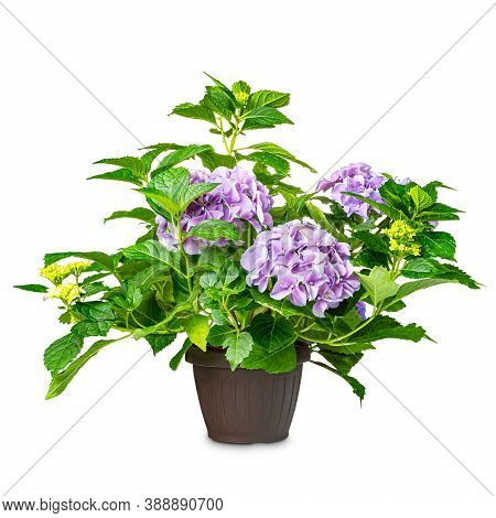 Hydrangea Or Hortensia Flower In Pot On A White Background