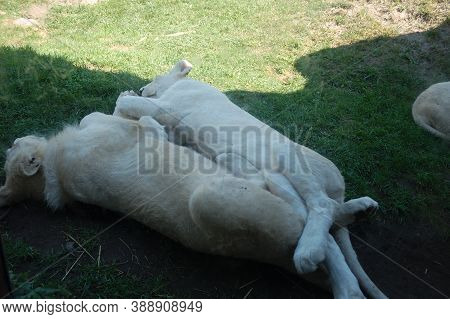 Two White Lions Are Resting On The Grass In The Shade Of A Tree