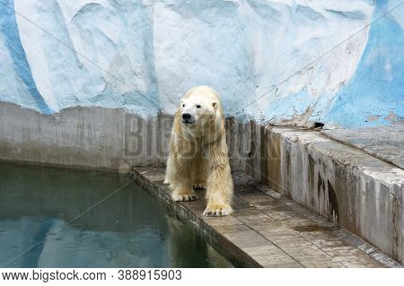 Russia, The City Of Novosibirsk, Novosibirsk Zoo May 21, 2014. A Polar Bear In Captivity, Kept In A