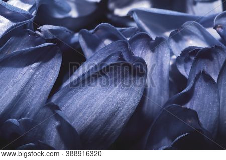 Petals Of Chrysanthemum Flower Macro. Abstract Background