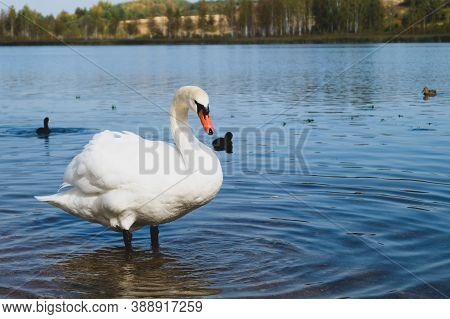 White Swan Stands In The Lake Close Up