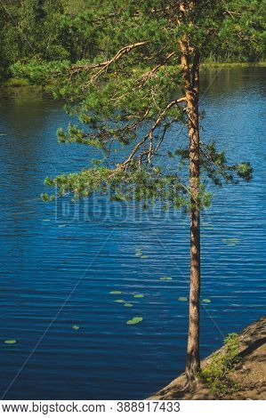Pine Tree On The Lake Shore. Water Surface. Summer Day