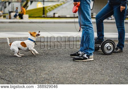 Funny Dog Jack Russell Terrier Playing With People On The Street. Cute Puppy Walking Outdoors. Adora