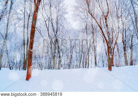 Winter landscape with falling snow. Wonderland winter forest with snowfall over winter grove. Snowy winter scene with Christmas and New Year mood. Winter forest landscape scene