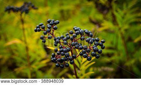 Elderberry In The Open Area,ripe Elderberry In Agriculture.ripe Elderberry Growing In The Bushes,gro