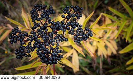 Ripe Elderberry Bushes,black Elderberry Berry.ripe Elderberry Close Top View Elderberry Bush
