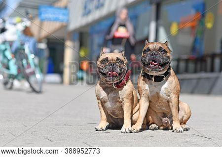 Well Behaved French Bulldog Dogs Without Leash Sitting In City Street On Sunny Day