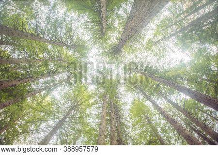 Redwood Trees From Bottom Up, In Redwoods Whakarewarewa Forest, Rotorua, New Zealand