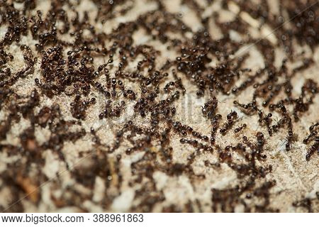 Black Ants. Many Flocks Of Insects Return To The Nest. Ants Are Running. Ants Looking For Food. Abst