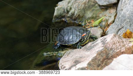 Red-eared Slider Turtle Or Trachemys Scripta Elegans Reptile Is Resting On Pond