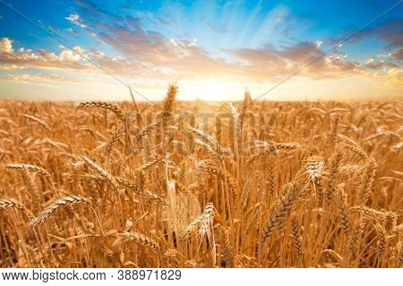 Wheat Field. Ears Of Golden Wheat Close Up. Beautiful Nature Sunset Landscape. Rural Scenery Under S