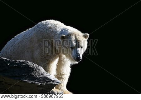 Close Up Portrait Of One White Arctic Polar Bear (ursus Maritimus) On Rocks Over Black Background, L