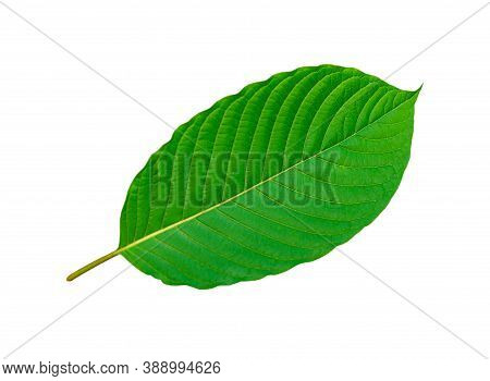 Tropical Green Leaf Isolated On White Background, Cottage Leaves, Leaf From Natural Tropical Forest