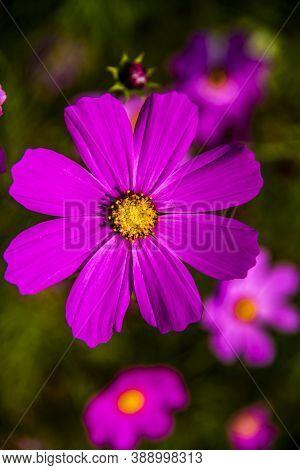 Close Up Of Cosmos Bipinnatus In The Valleys Of Cortina D'ampezzo, Belluno, Italy