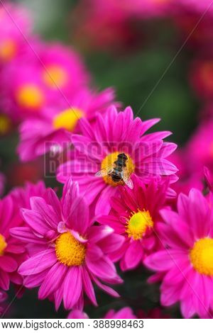 Background Of Pink Chrysanthemums With A Copy Of The Space. A Bee Sitting On A Chrysanthemum. Beauti