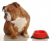 english bulldog turning her nose up to an empty food dish - hungry dog poster