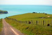Gravel road and cows behind farm fence Banks Peninsula New Zealand poster