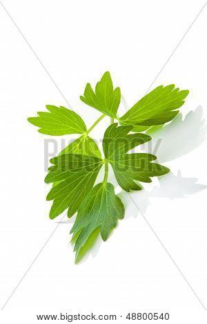 Lovage Leaf.