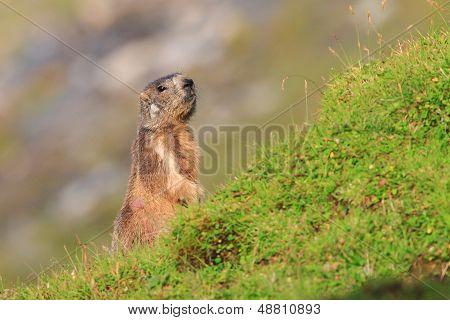 Marmot in the pastures of Fagaras Mountains,Romania
